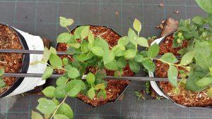 cultivo en fibra de coco