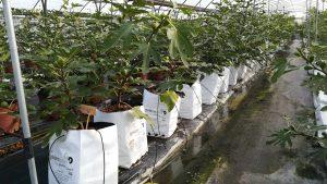 cultivo hidropónico frutales