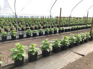cultivo hidropónico en maceta