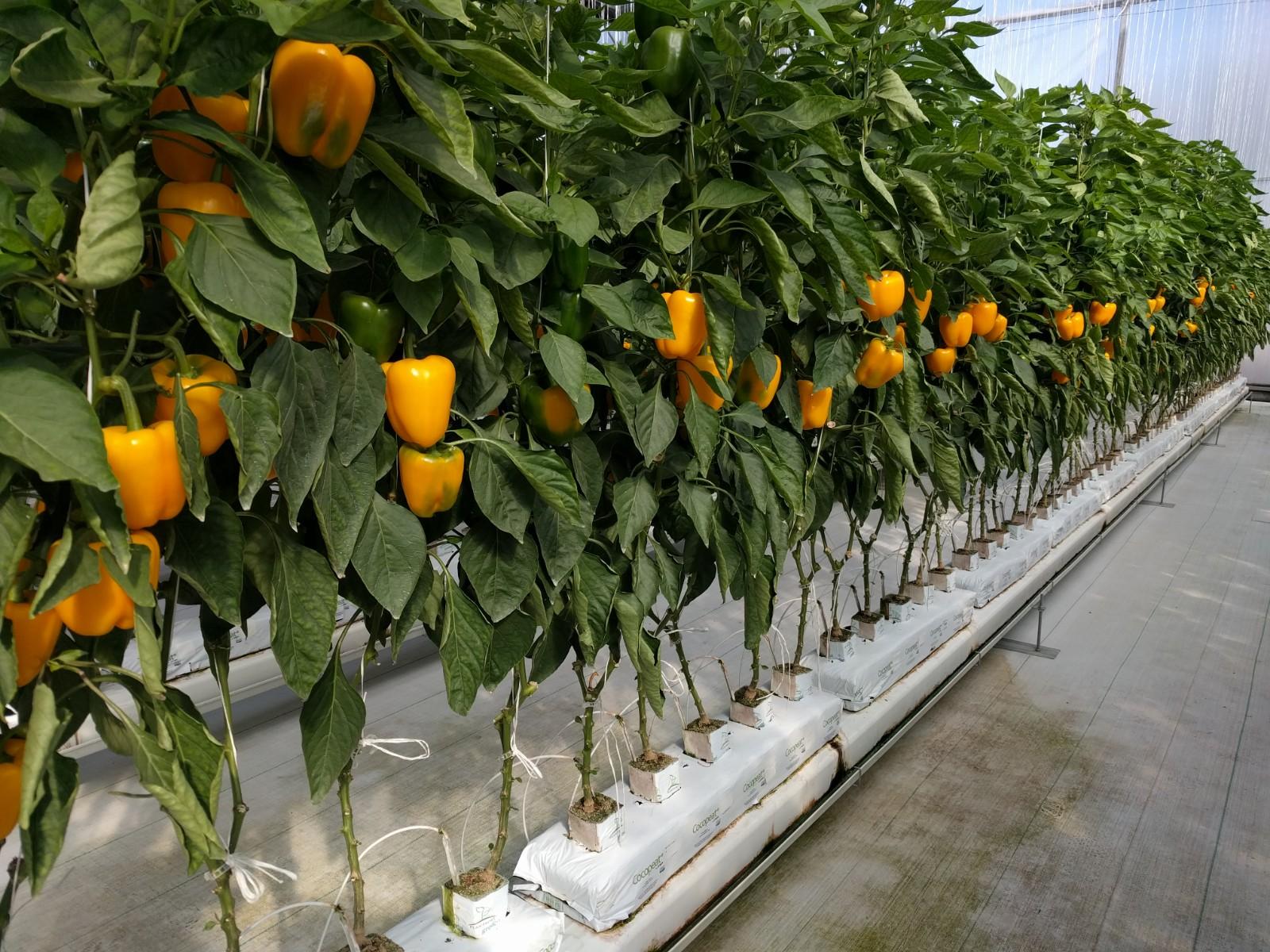cultivo hidropónico de pimiento
