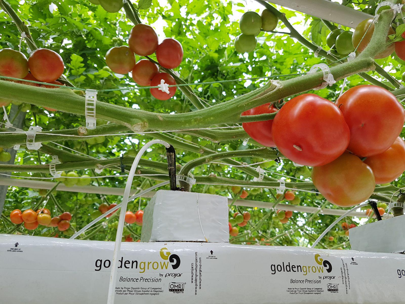 cultivo hidropónico del tomate